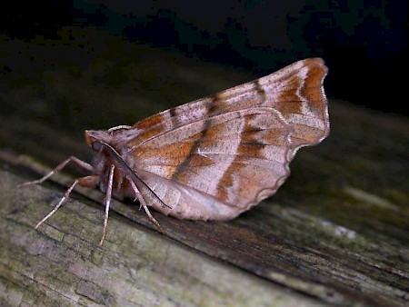 Early Thorn Selenia dentaria