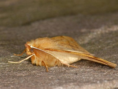 Feathered Thorn Colotois pennaria