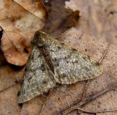Pale Brindled Beauty Phigalia pilosaria