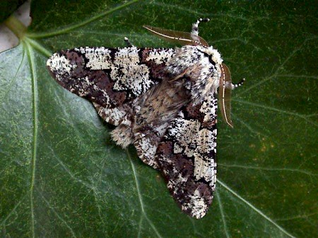 Oak Beauty Biston strataria