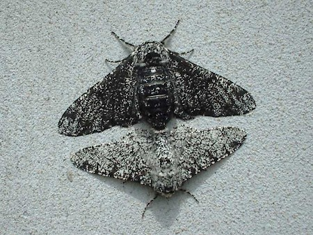 Peppered Moth Biston betularia