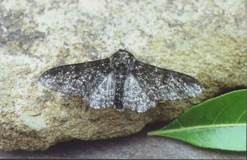 Evolution And Natural Selection Answers Light Colored Pepper Moth