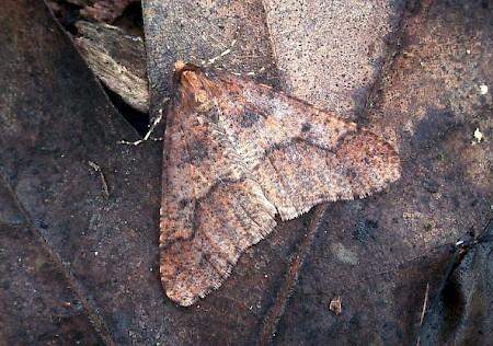 Mottled Umber Erannis defoliaria