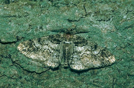 Ringed Carpet Cleora cinctaria