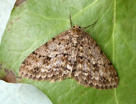 The Engrailed Ectropis crepuscularia