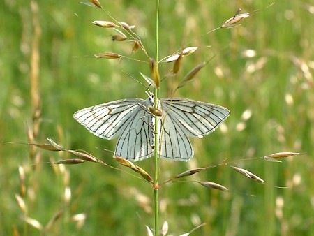 Black-veined Moth Siona lineata