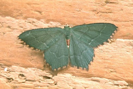 Common Emerald Hemithea aestivaria