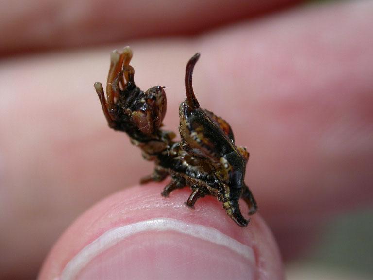 Lobster Moth Stauropus fagi - UKMoths