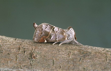 Small Chocolate-tip Clostera pigra