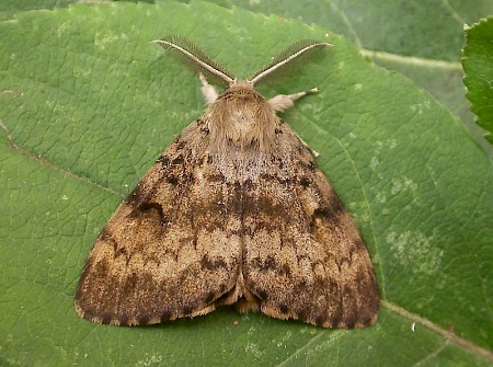Gypsy Moth Lymantria dispar