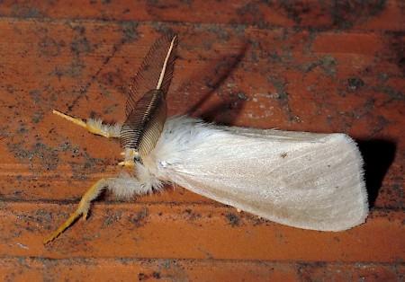 Reed Tussock Laelia coenosa