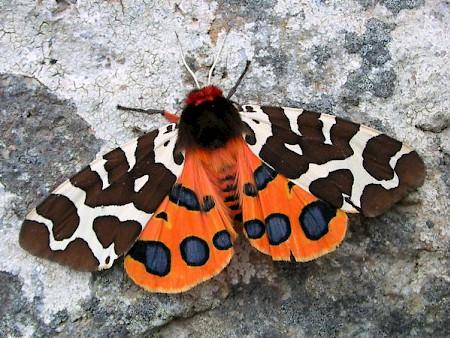 Garden Tiger Arctia caja