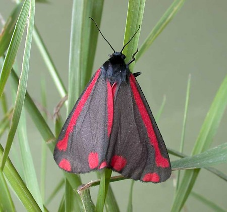 The Cinnabar Tyria jacobaeae