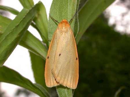 Four-dotted Footman Cybosia mesomella