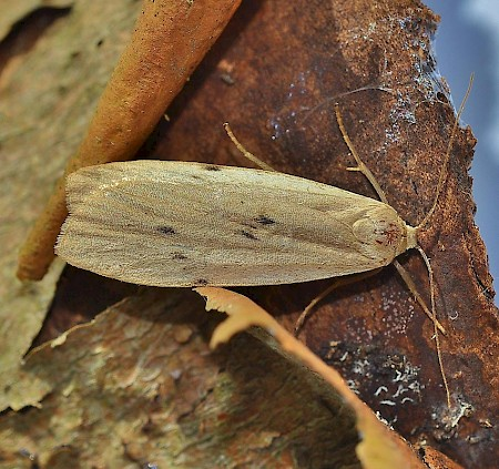 Dotted Footman Pelosia muscerda