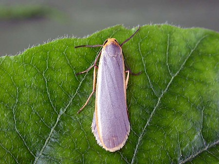 Common Footman Eilema lurideola