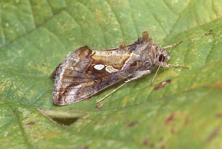 Tunbridge Wells Gem Chrysodeixis acuta