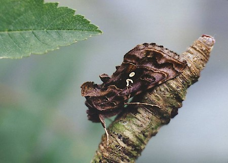 Beautiful Golden Y Autographa pulchrina