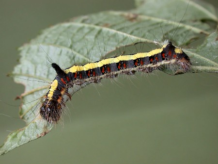 Grey Dagger Acronicta psi