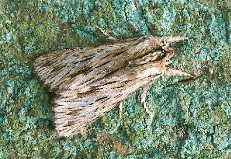 The Sprawler Asteroscopus sphinx