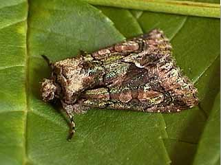 Green-brindled Crescent Allophyes oxyacanthae