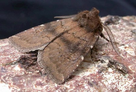 Brown Rustic Rusina ferruginea