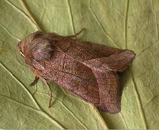 Rosy Rustic Hydraecia micacea