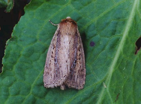 Brown-veined Wainscot Archanara dissoluta