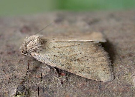 Small Dotted Buff Photedes minima