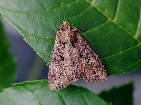 Small Clouded Brindle Apamea unanimis