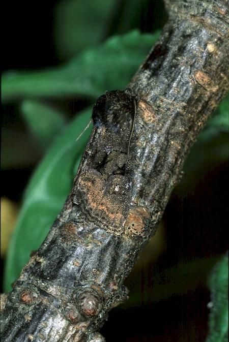 Tawny Marbled Minor Oligia latruncula
