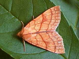 Orange Sallow Tiliacea citrago