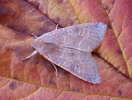 Pale-lemon Sallow Cirrhia ocellaris