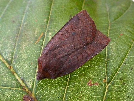 Dark Chestnut Conistra ligula