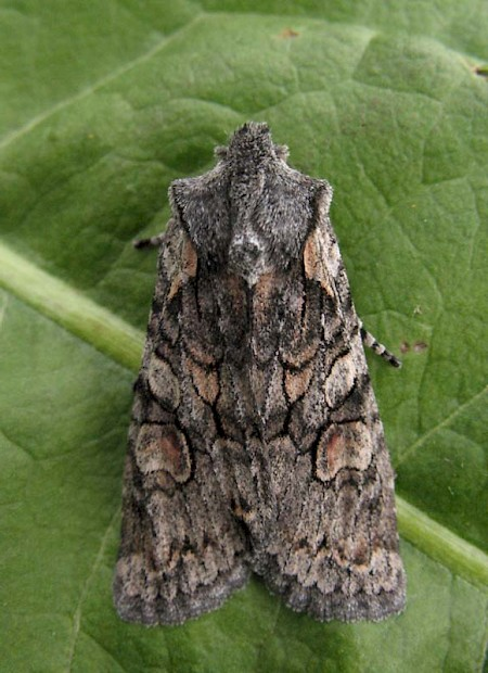 Softly's Shoulder-knot Lithophane consocia