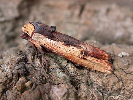 Red Sword-grass Xylena vetusta