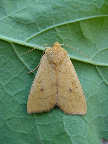 Angle-striped Sallow Enargia paleacea
