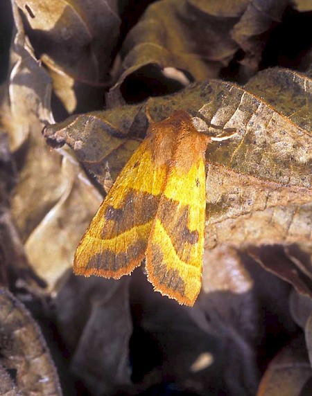 Centre-barred Sallow Atethmia centrago