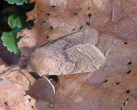 Common Quaker Orthosia cerasi