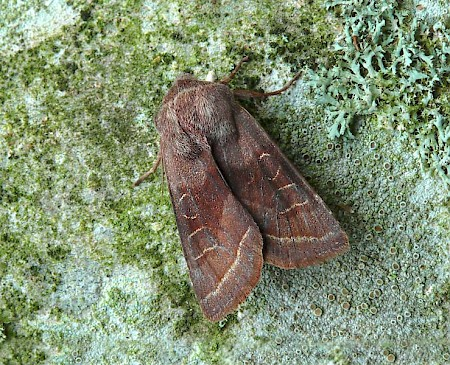 Northern Drab Orthosia opima
