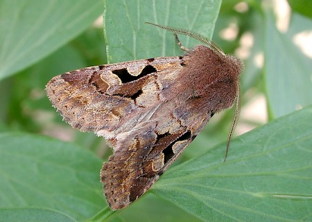 Hebrew Character Orthosia gothica