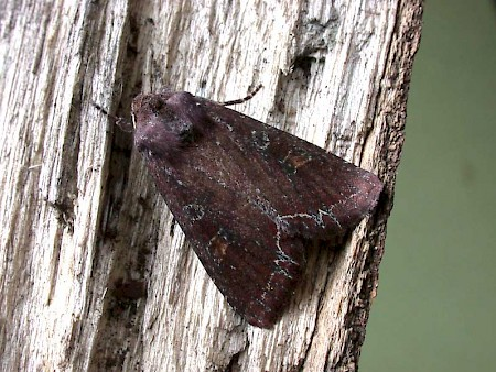 Bright-line Brown-eye Lacanobia oleracea
