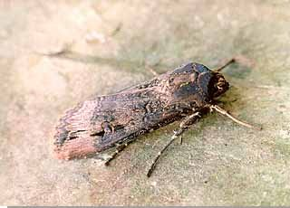 Dark Sword-grass Agrotis ipsilon
