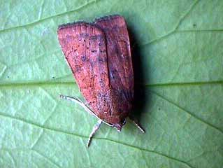 Least Yellow Underwing Noctua interjecta