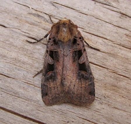 Triple-spotted Clay Xestia ditrapezium