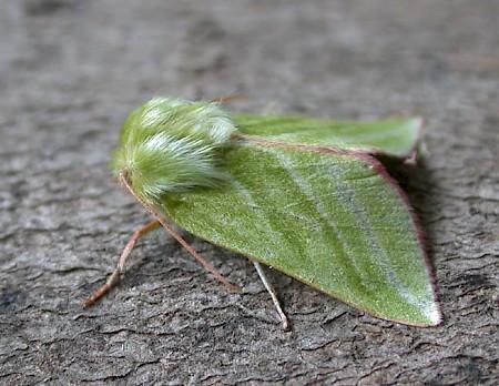 Green Silver-lines Pseudoips prasinana