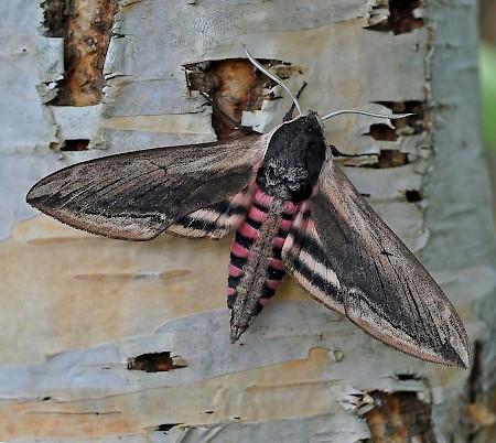 Privet Hawk-moth Sphinx ligustri