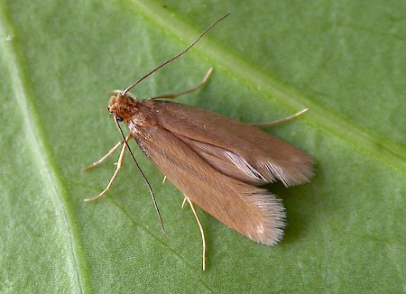 Common Clothes Moth Tineola bisselliella