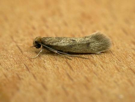 Case-bearing Clothes Moth Tinea pellionella