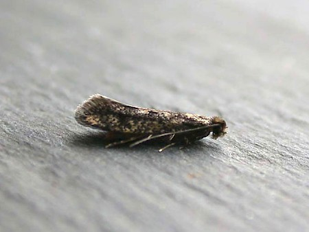 Niditinea striolella